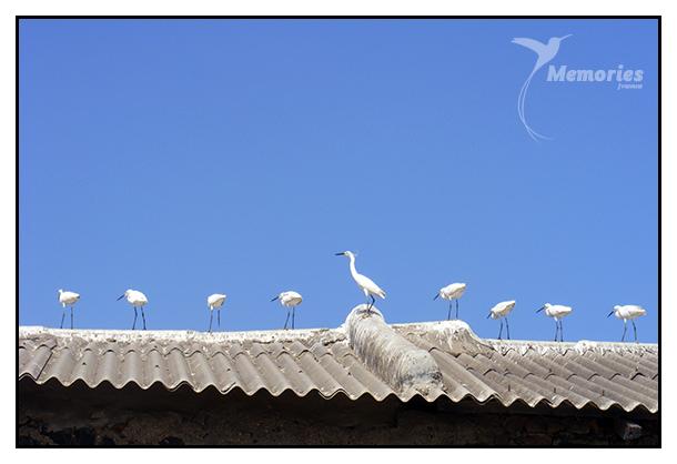white herons